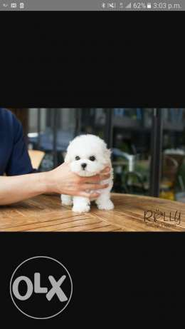 Teacup bichon
