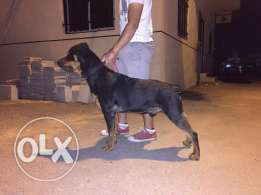 Fully trained Male Rottweiler