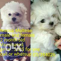 Maltes bichon small size dogs 2 month old vaccinated