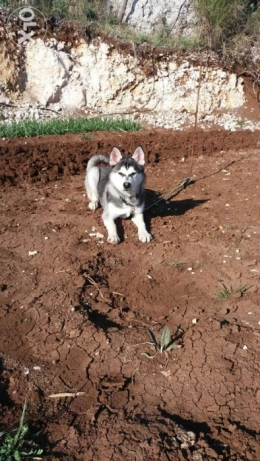 Huskey searching for his female huskey(pure)