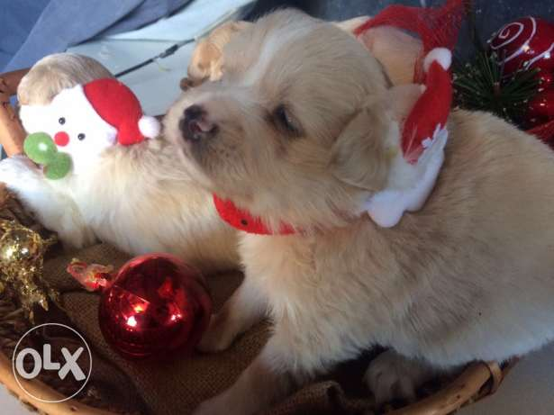Loulou Spitz Puppies Ideal Gift for Christmas انطلياس -  3