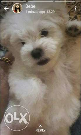 Bichon maltese pure 100% vaccinated 4 months old so friendly