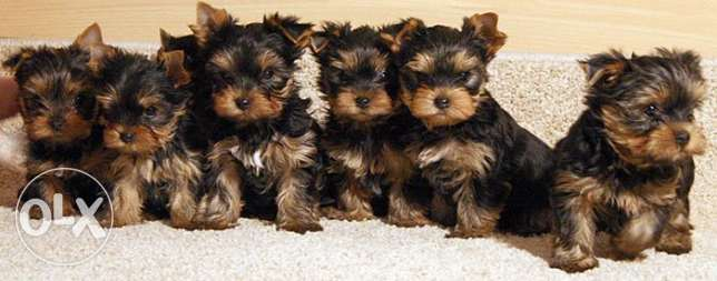 Imported Toy Yorkshire Terrier