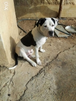 Pitbull Bully top breed 6 months old