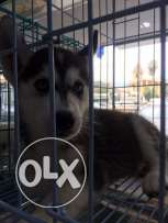 Male husky 2 months old for sale