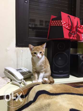 switzerland kitten 2.5 months old with passport and vaccination