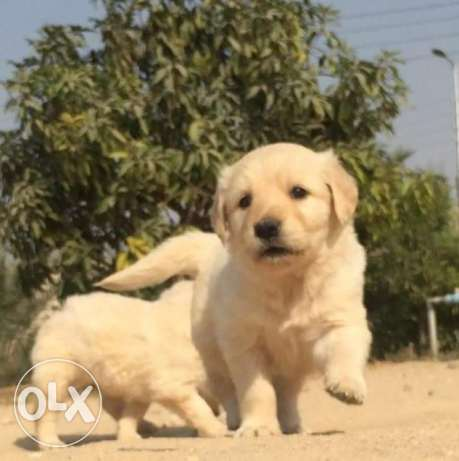 imported golden puppies for sale