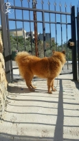 Chowchow mix akita For sale