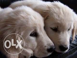 2 pure golden retriever for sale