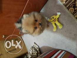 Pomeranian Dog 3 months old ..vacinated ..dewormed