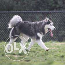 Super long hair grey husky 180$