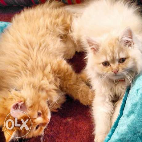 American long hair kittens:male & female (200$/pair)