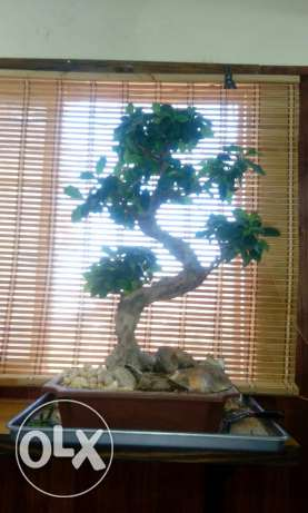 Bonzai tree, bonsai بونزاي
