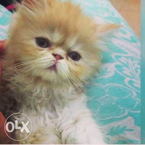 Cute Persian Cat for sale