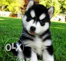 Siberian husky puppies 55 days old lounge hair blue eyes