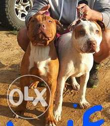 beautiful rednose pit bull female & male for sale 5 months