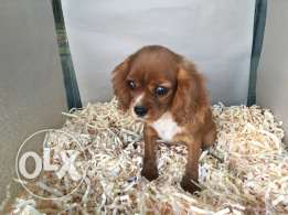 cavalier for sale