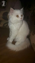 Pure persian cat gold and white color original for sale