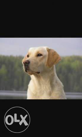labrador golden retriever ذوق مكايل -  1
