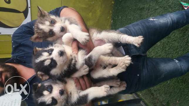 special offer husky pupeis male and females 50 days