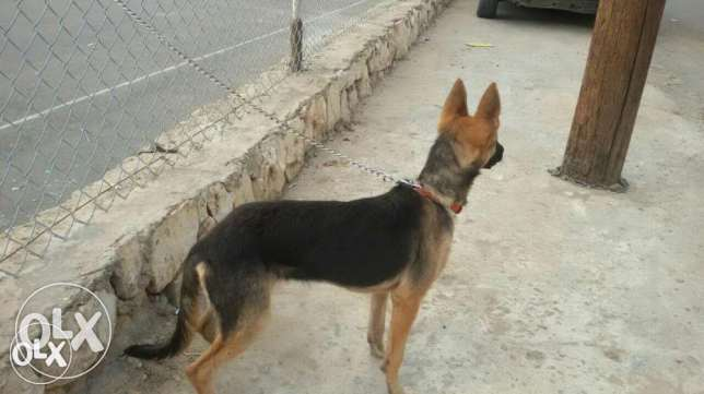 Malinois female for trade or sale بعبدا -  1