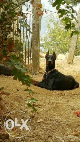 Doberman zus male for mating دوبرمان للتزاوج ذكر