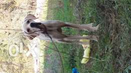 Hunting dog sale or trade