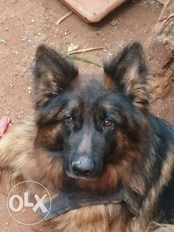 Dog female German Shepherd for sale