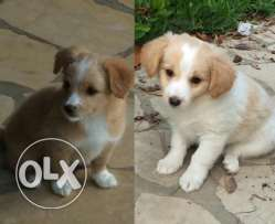 Puppies for sale chaher wnoss 3omron