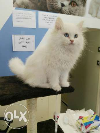 Persian Angora kitten for sale