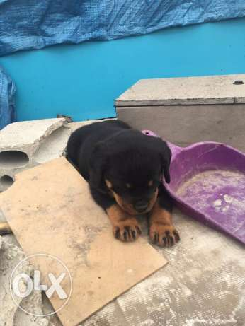 rottwailer female pure