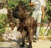 imported cane corso puppies