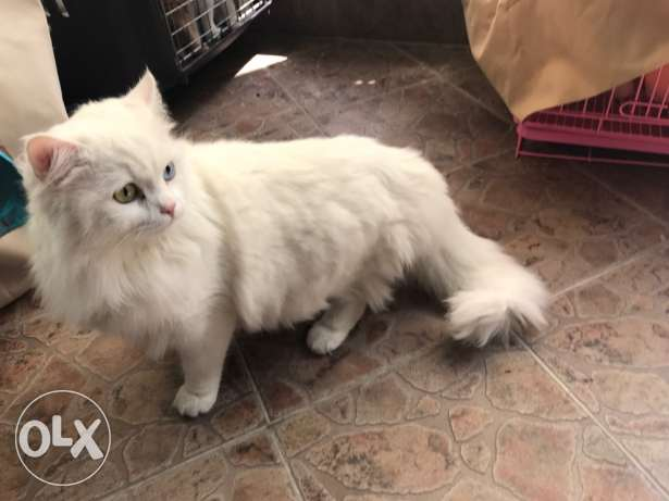 persian cat 3omro senten