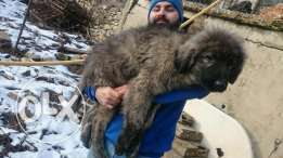 Black face Caucasian shepherd male ( kavkaz ) fully vaccinated