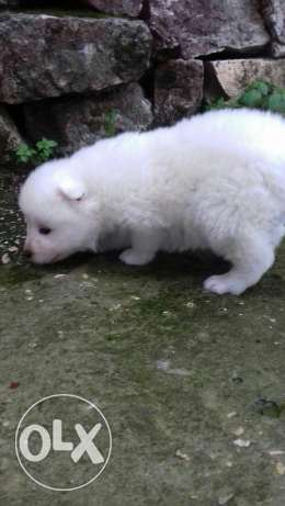 Samoyed Puppi  For sale