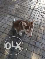 husky for sale male and female
