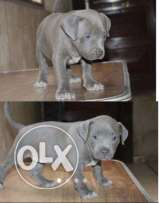 King size Pitbull Blue Puppy