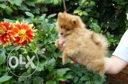 Brown Tea Cup Pomeranian puppies