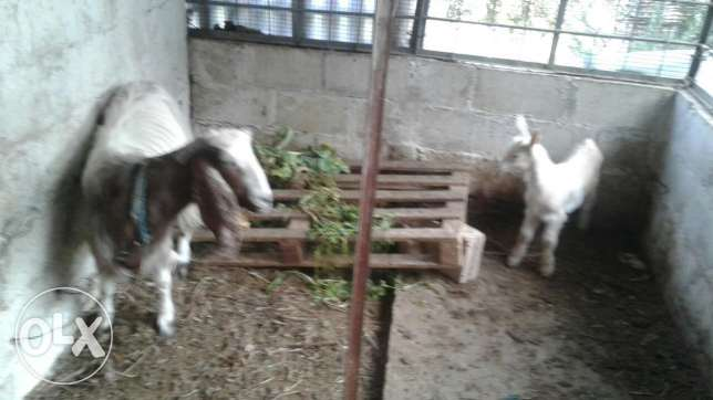 Cyprus goat and the little one