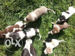4 males and one female 100% pitbull