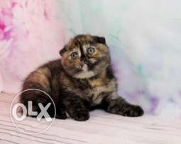 Show Class Black Tortoiseshell SCOTTISH FOLD Kitten