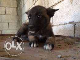 puppies malinois for sale.. Top quality 500$