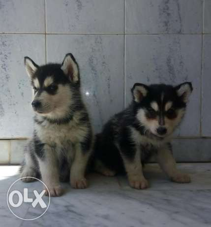 2 Females Husky