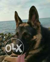 German shepherd trained 2 month full obedience w i5id kil t3omto