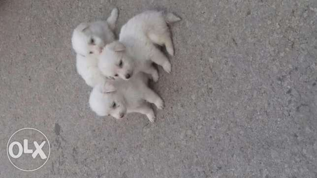Pure white bishon puppies for sale