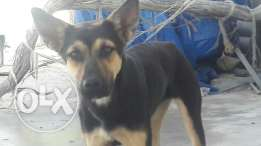 PURE German Sheperd .. start 150 $
