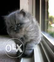 cat persian Russian blue