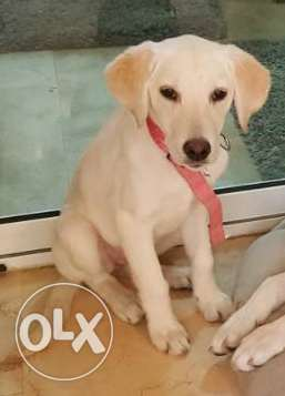 White Labradore , female , 4 months old