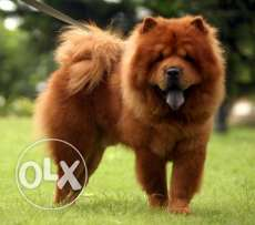 Need female chowchow