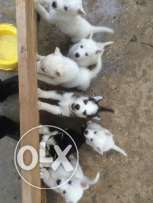 White huskeys for sale